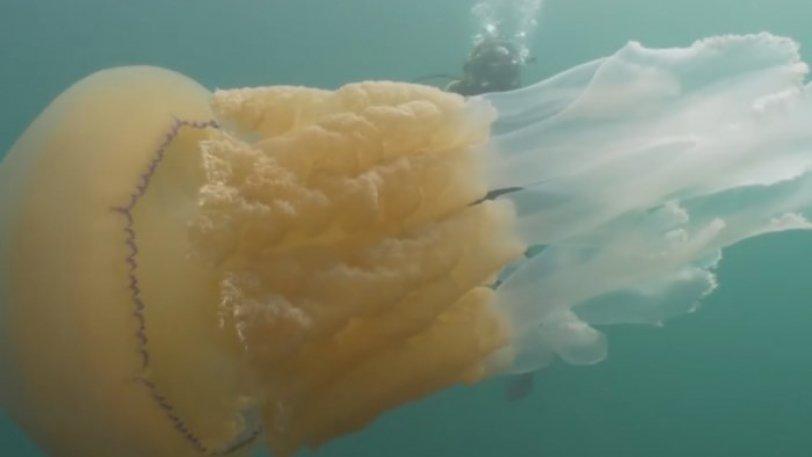 Γιγαντιαία τσούχτρα κολυμπάει πλάι σε μία γυναίκα και την «εξαφανίζει» (vid)